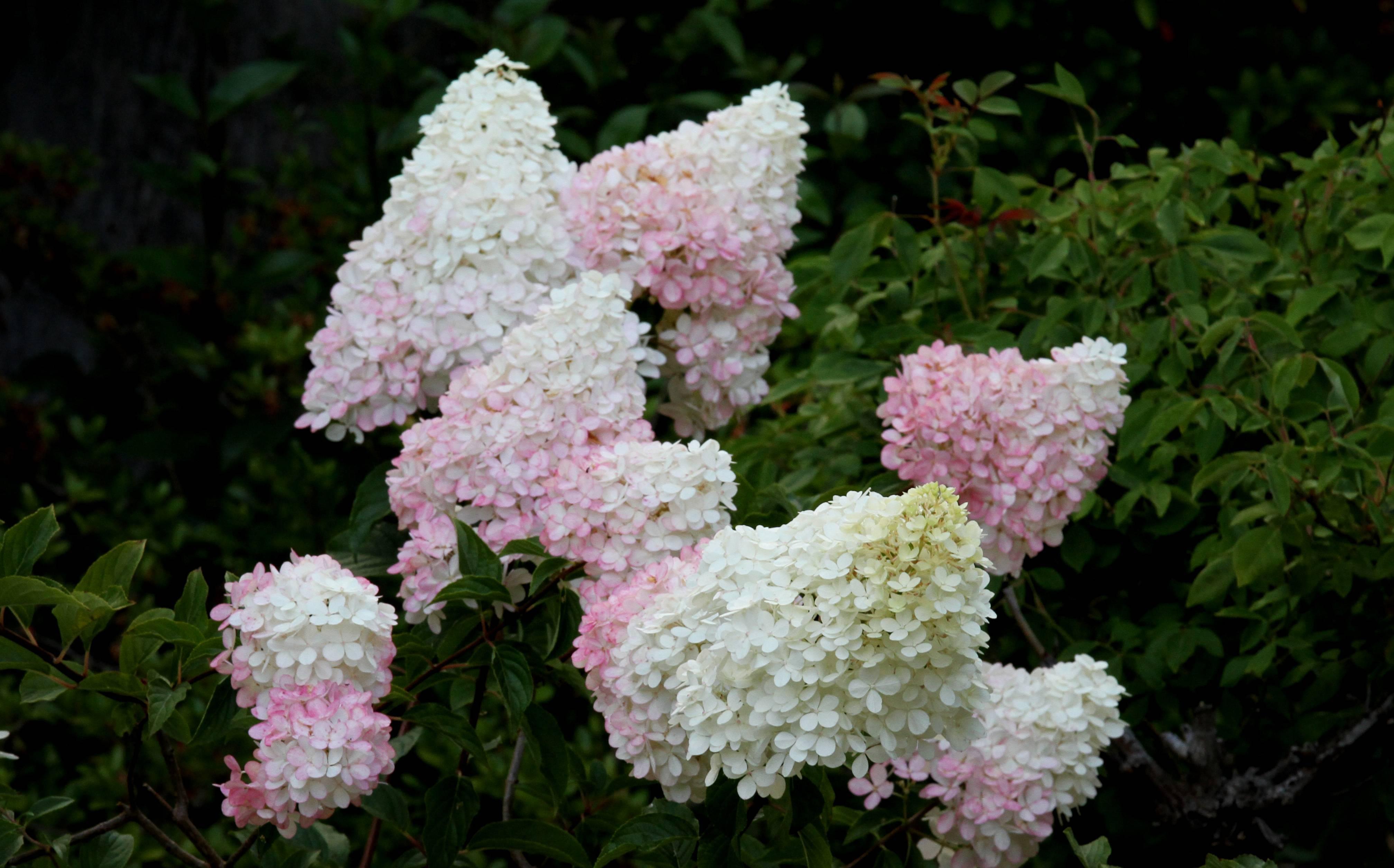 Гортензия строберри блоссом (hydrangea paniculata strawberry blossom) — описание