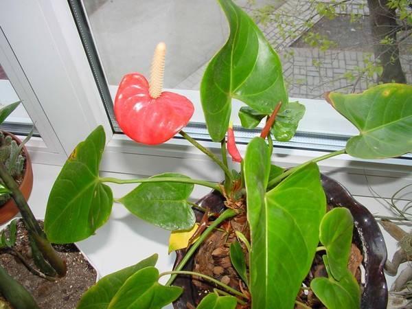 Как ухаживать за цветком антуриум (мужское счастье)  :: инфониак