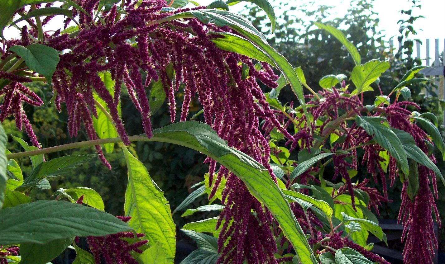 Цветок амарант: посадка и уход в открытом грунте, фото, выращивание, свойства