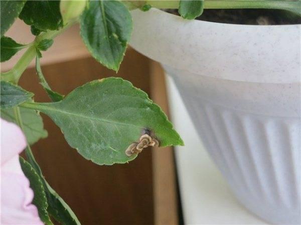 Причины плохого цветения пионов: почему не зацветают, мало бутонов или одни листья