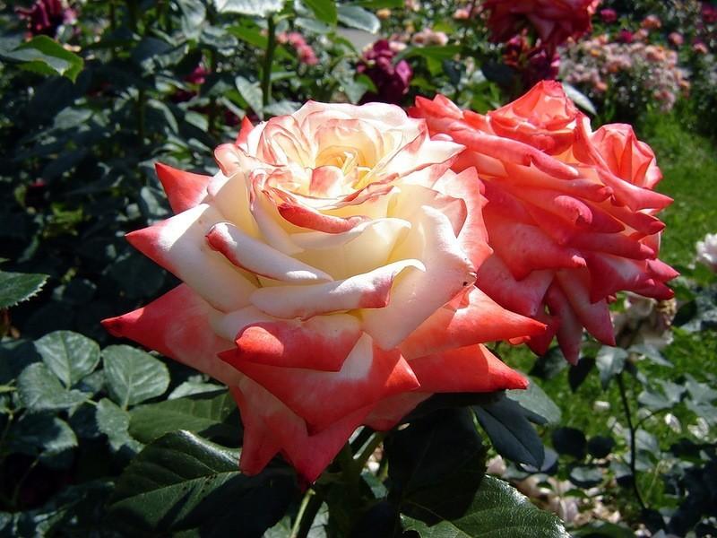 Роза императрица фарах описание