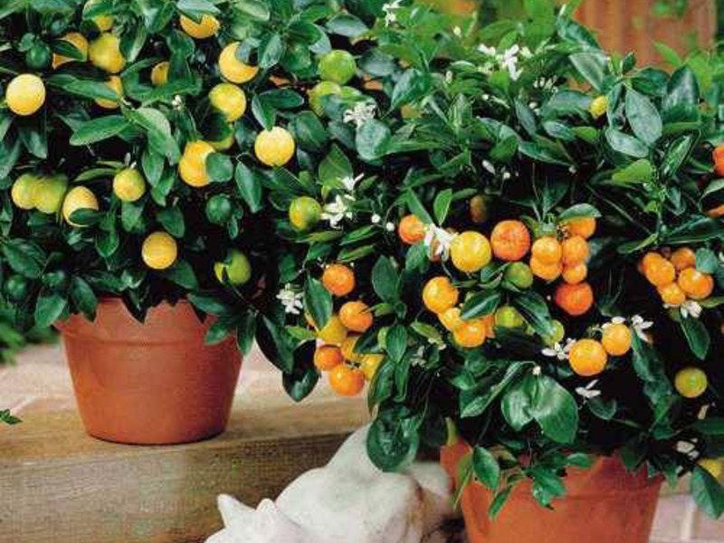Лимонник китайский: посадка и уход, выращивание в открытом грунте