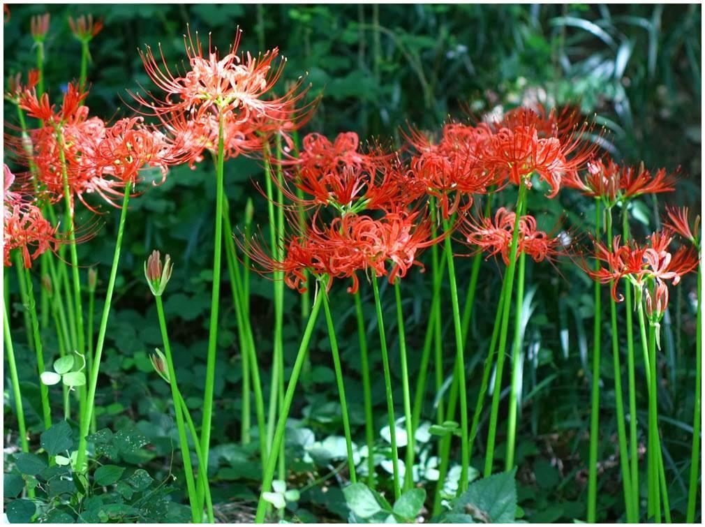Ликорис: посадка и уход в саду, фото, виды и сорта