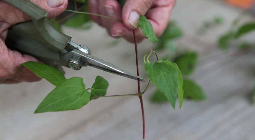 Клематис крупноцветковый : размножение черенками в различное время года
