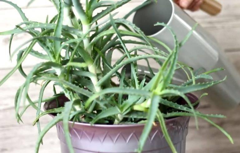 Чем подкормить алоэ в домашних условиях: виды удобрений, уход, рекомендации