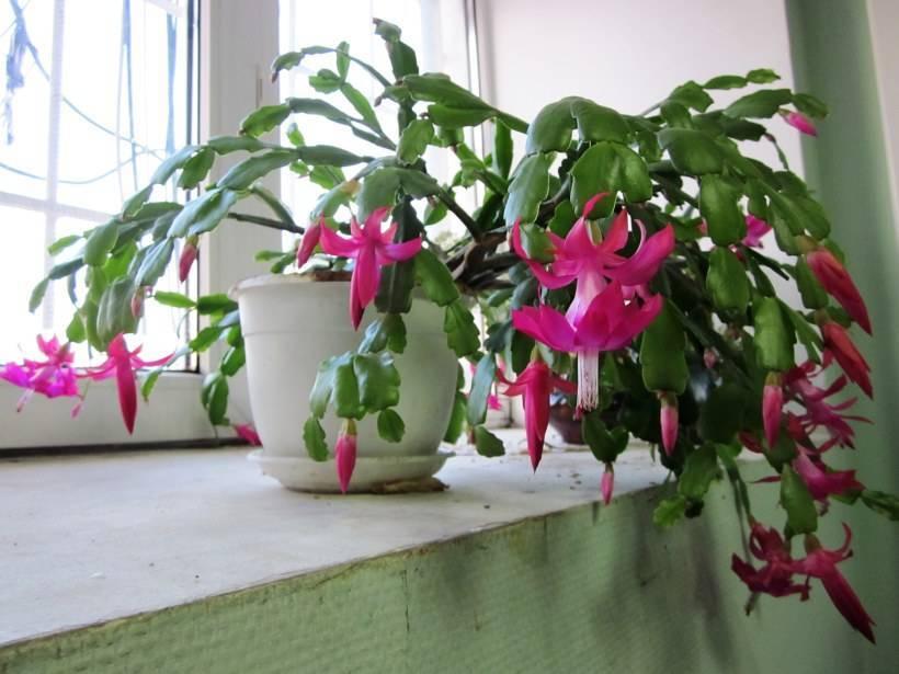 Цветок декабрист – уход в домашних условиях. отличия от кактусов в выращивании – полив, освещение, температура