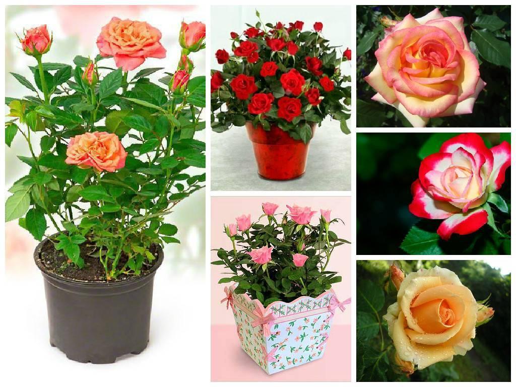 Роза кордана: уход в домашних условиях после покупки