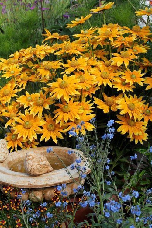 Рудбекия многолетняя — как цветет, популярные сорта
