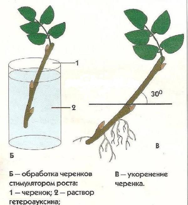 Как размножать растения бесплатно - черенкование