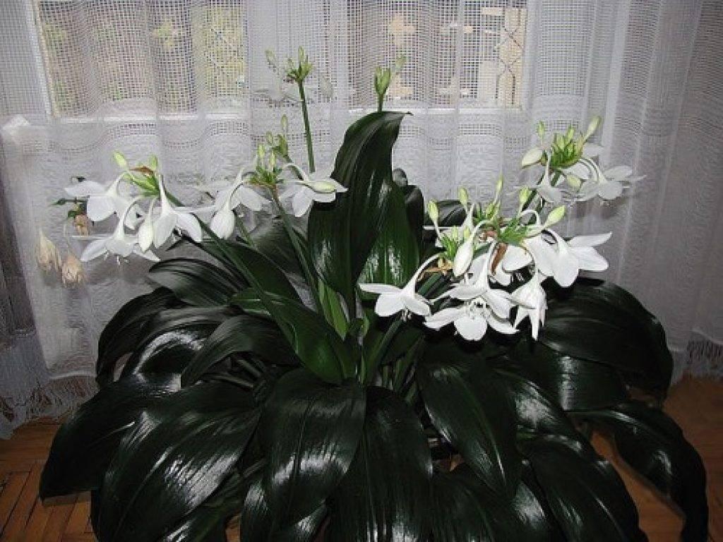 Эухарис (50 фото): уход за амазонской лилией в домашних условиях. какой нужен грунт для пересадки цветка? цветение и размножение комнатного растения
