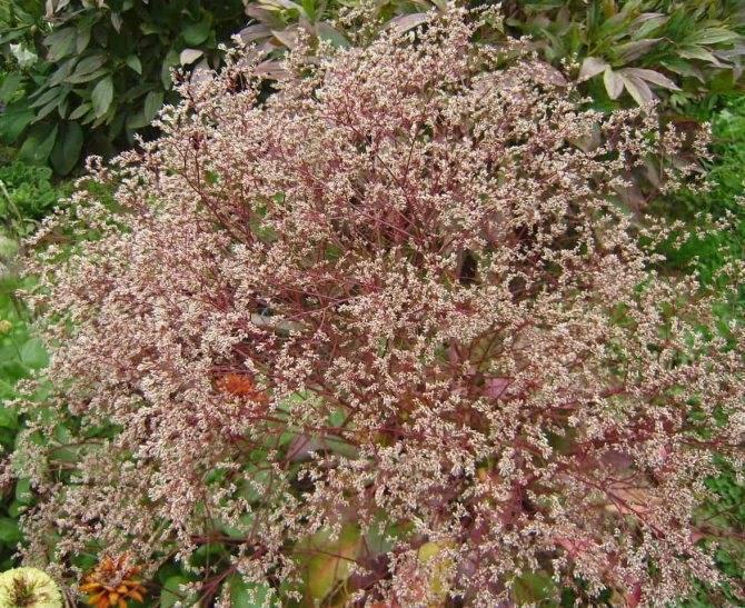 Кермек посадка и уход в открытом грунте размножение семенами. живописный кермек татарский — неприхотливое растение для вашего сада