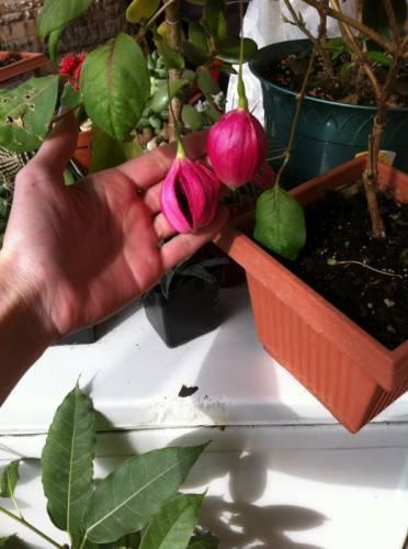 Почему не цветут глоксинии: сохнут бутоны не распустившись, опадают или гниют