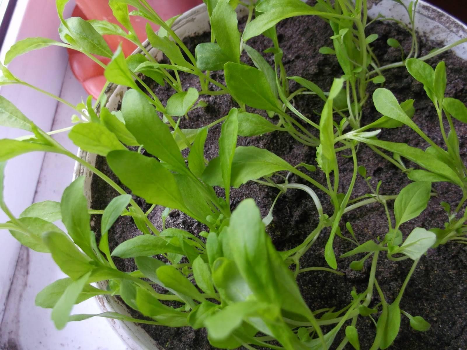 Немезия: посадка и уход в открытом грунте, фото, выращивание в саду