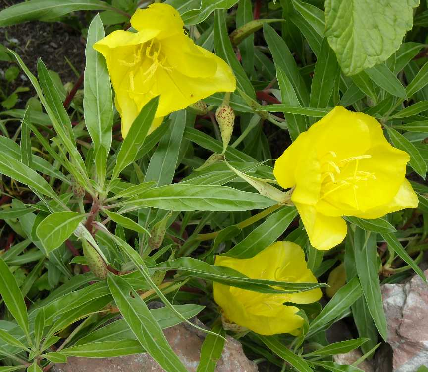 Энотера многолетняя: посадка и уход, фото, выращивание в открытом грунте