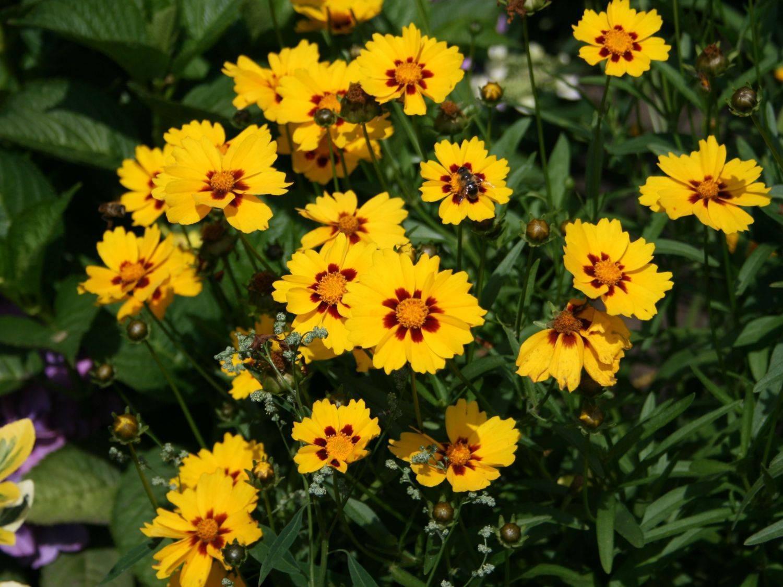 Цветы кореопсис и его сорта