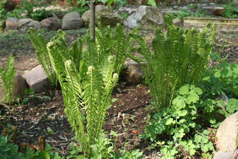 Сажаем и выращиваем папоротник из леса на даче