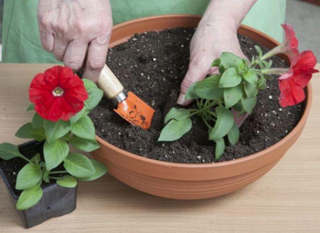 Лобелия: выращивание, посадка и уход