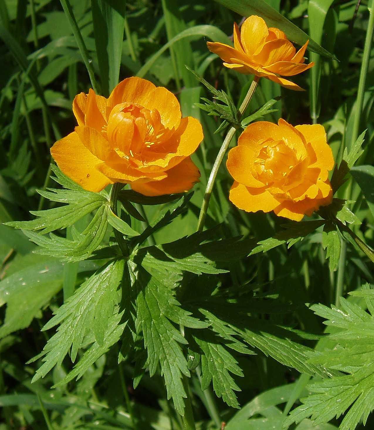 Цветок - купальница: фото и описание, виды растения - общая информация - 2020
