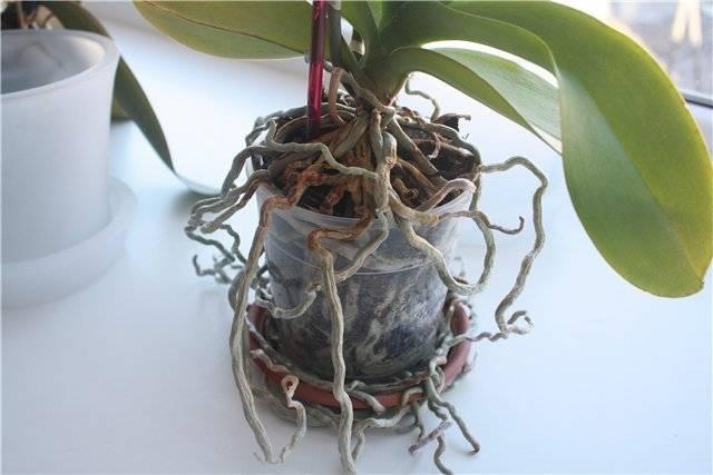 Узнайте, как вырастить орхидею из корешка