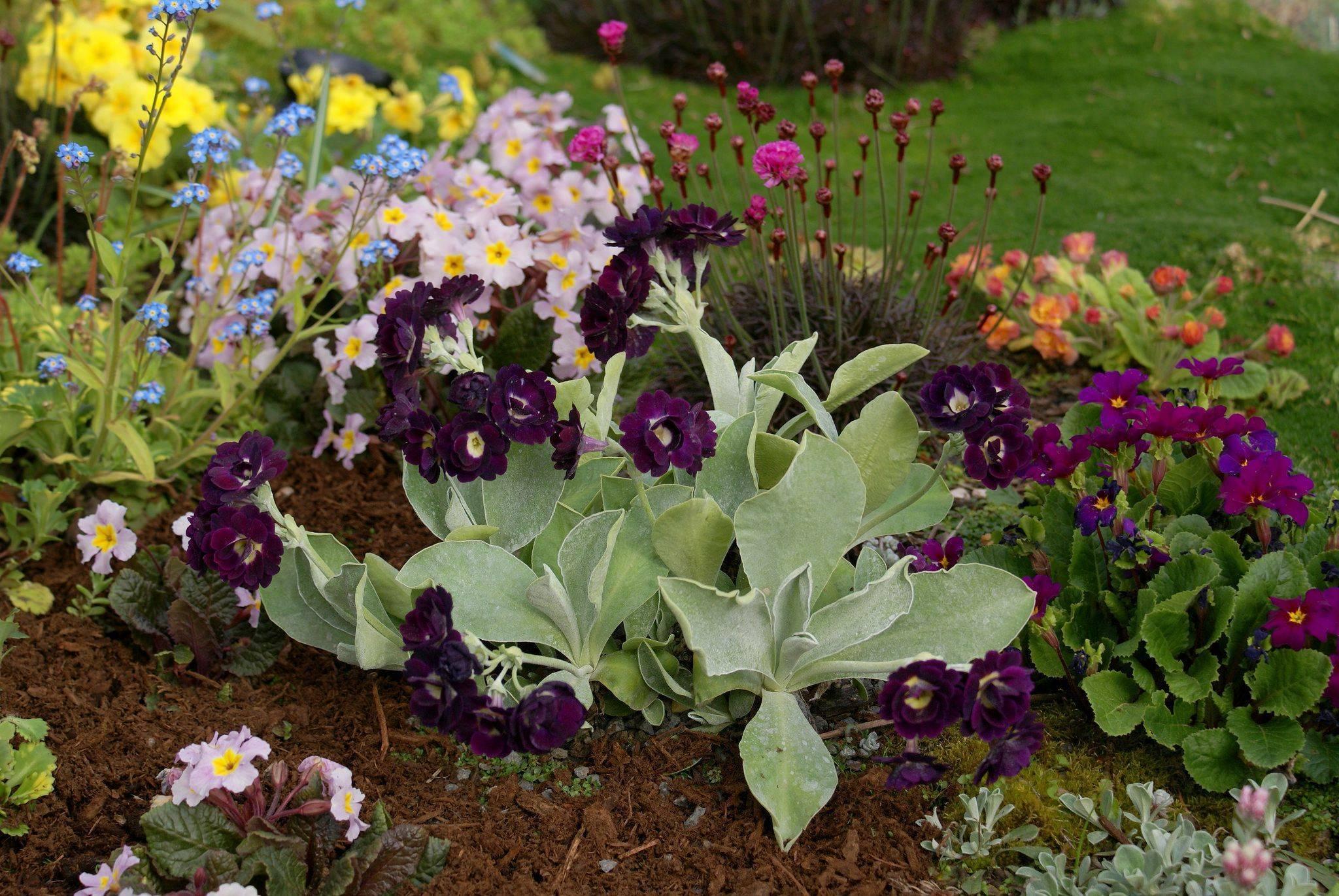 Необычная садовая фиалка — описание и фото