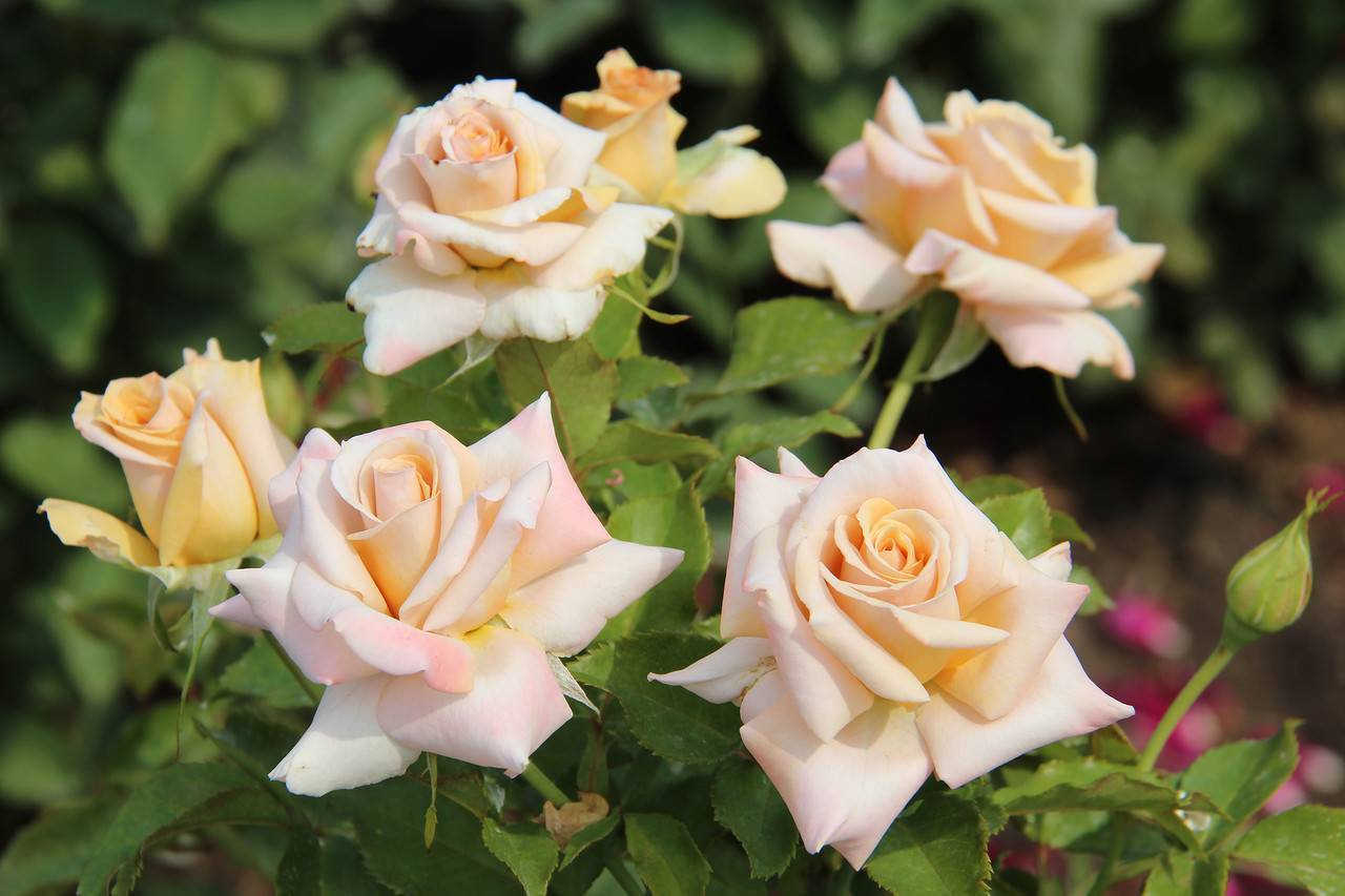 Плетистый сорт роз с крупными цветками нью даун: как выращивать «новый рассвет»