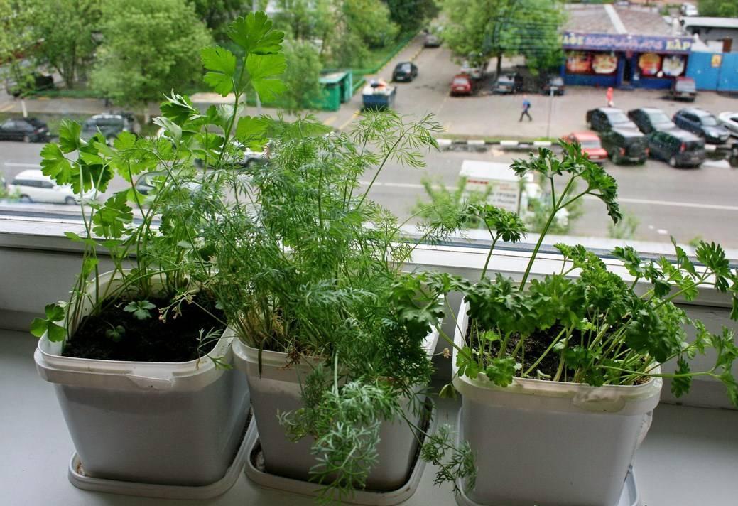 Растение укроп: посадка и уход в открытом грунте, фото, как вырастить в домашних условиях