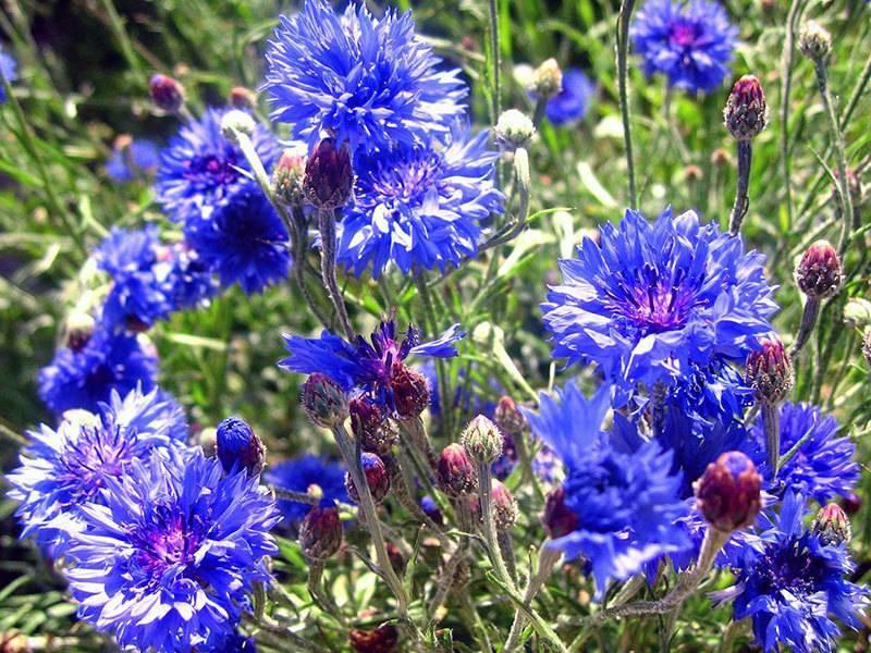 Цветы васильки: многолетний, полевой, восточный, как выглядит василек