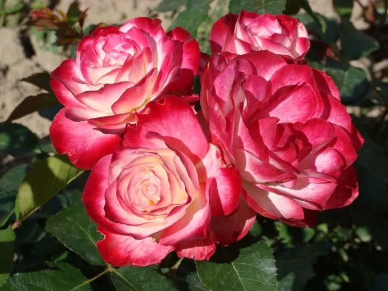 Что такое полиантовые розы и как за ними ухаживать