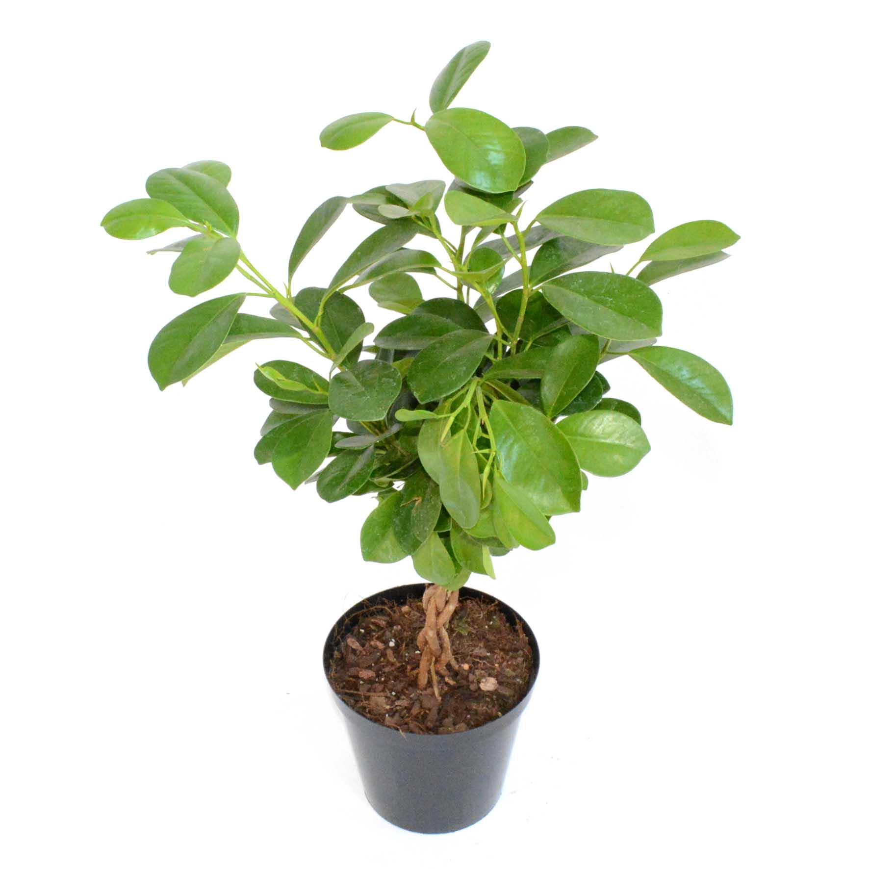 Большие комнатные растения с крупными листьями