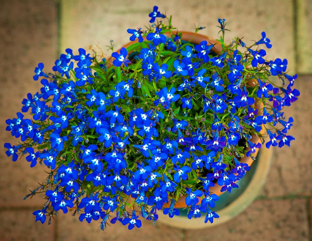 Описание цветка незабудка и его фото