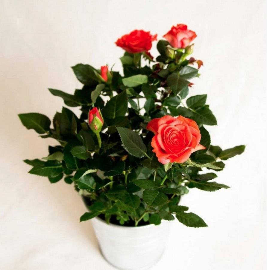 Уход за комнатной розой в горшке в домашних условиях: как поливать и пересаживать