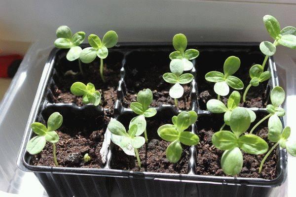 Цинния изящная: выращивание из семян