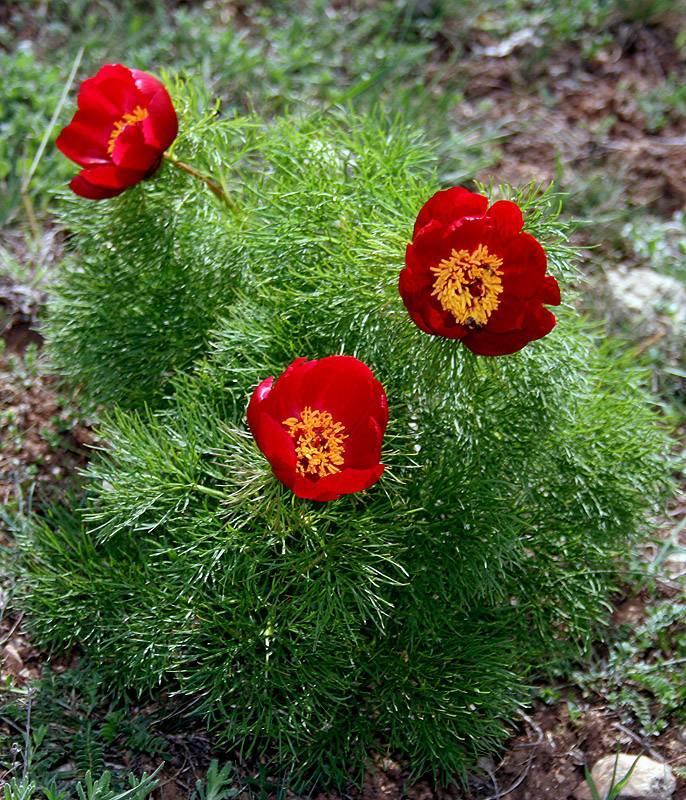 Бархатцы тонколистные (30 фото): особенности сортов «красный самоцвет», «паприка» и других. тонкости выращивания цветов из семян. как использовать бархатцы в ландшафтном дизайне?
