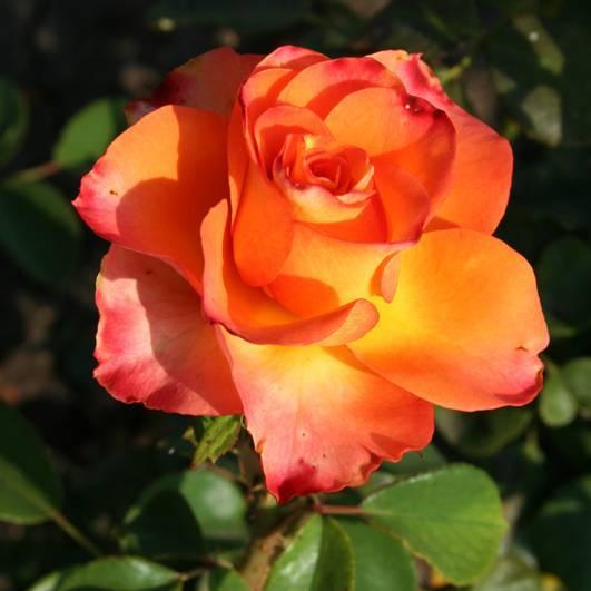 Роза чайно-гибридная black magic - описание сорта, секреты агротехники | о розе