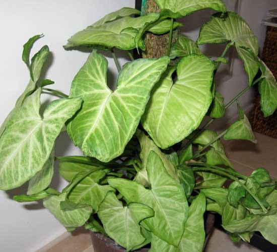 Сингониум приметы и суеверия, уход и размножение в домашних условиях, а также формирование растения