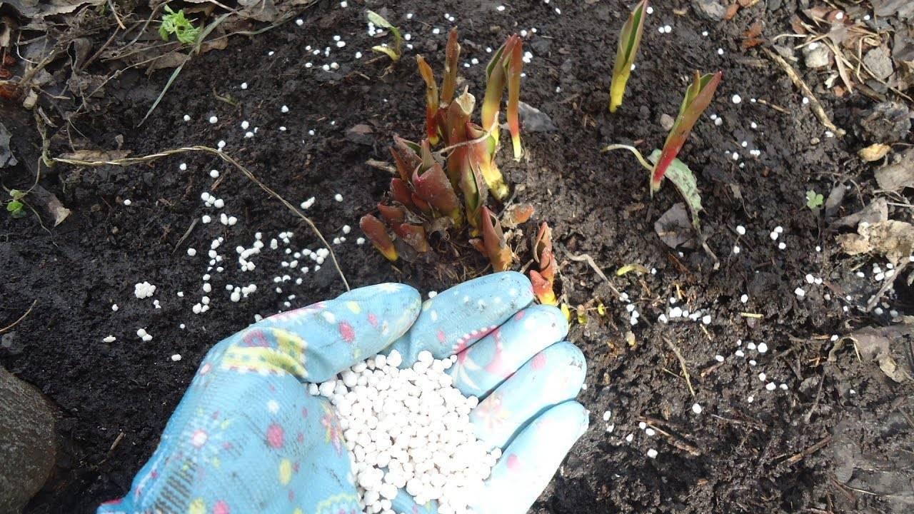 Чем подкормить гладиолусы для обильного цветения?