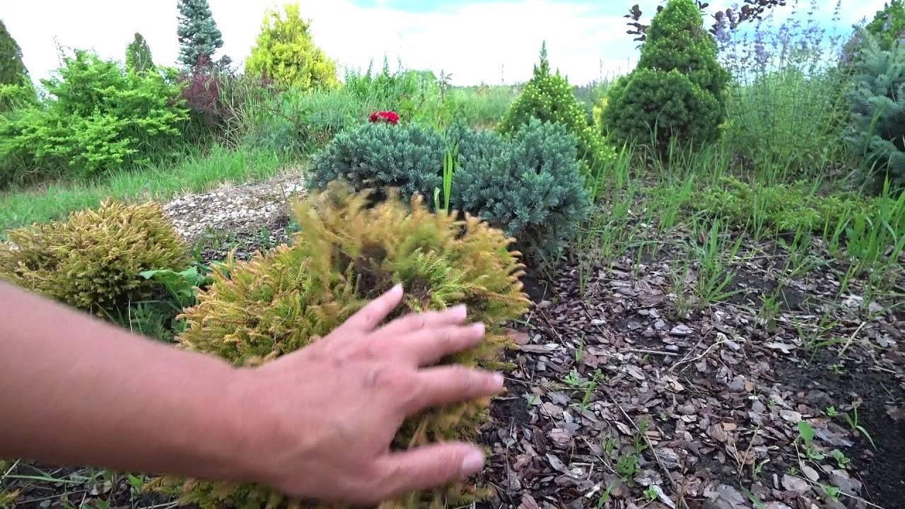 Еллоу риббон: туя западная, посадка и уход, выращивание и размножение