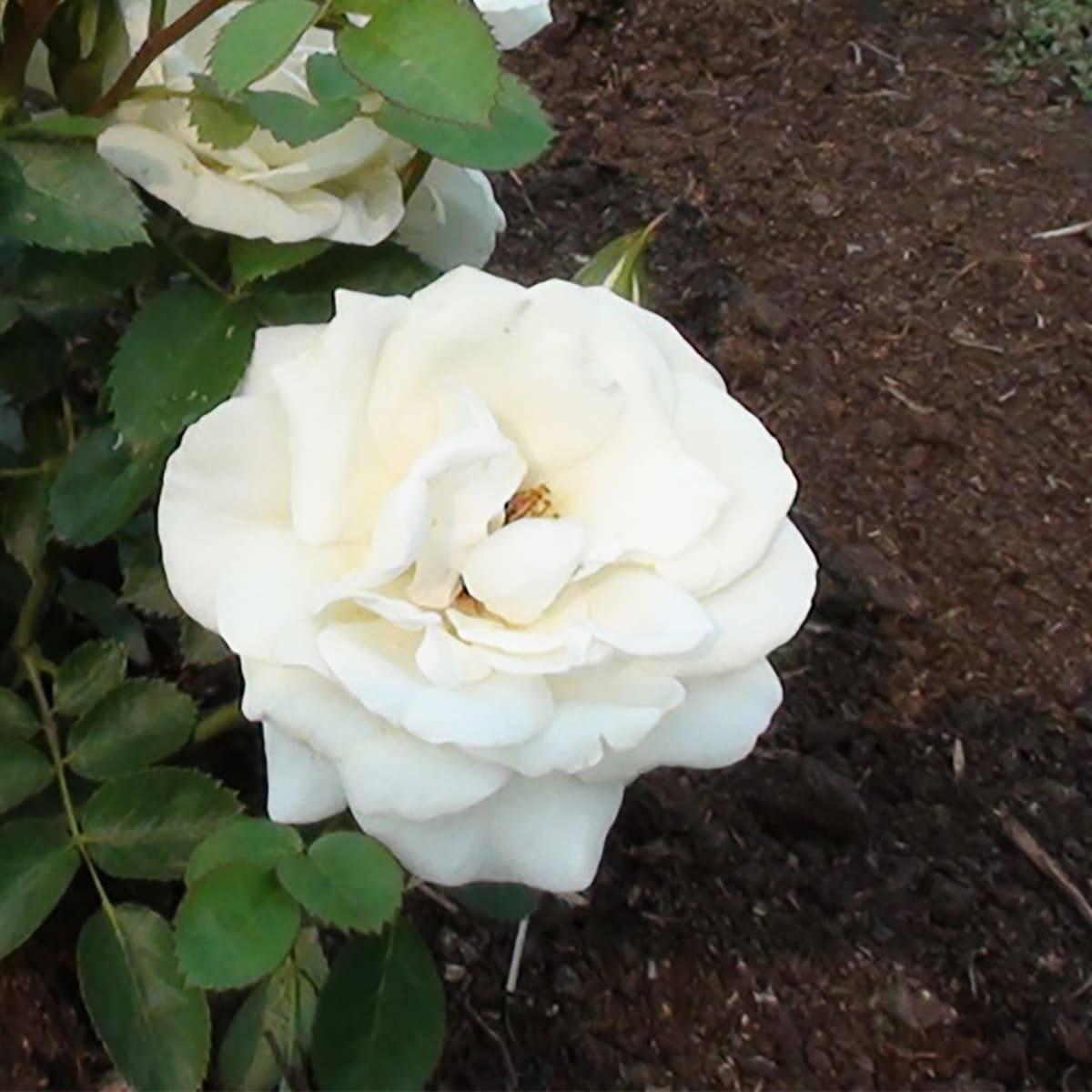 Описание канадских парковых роз, их сорта и советы по уходу