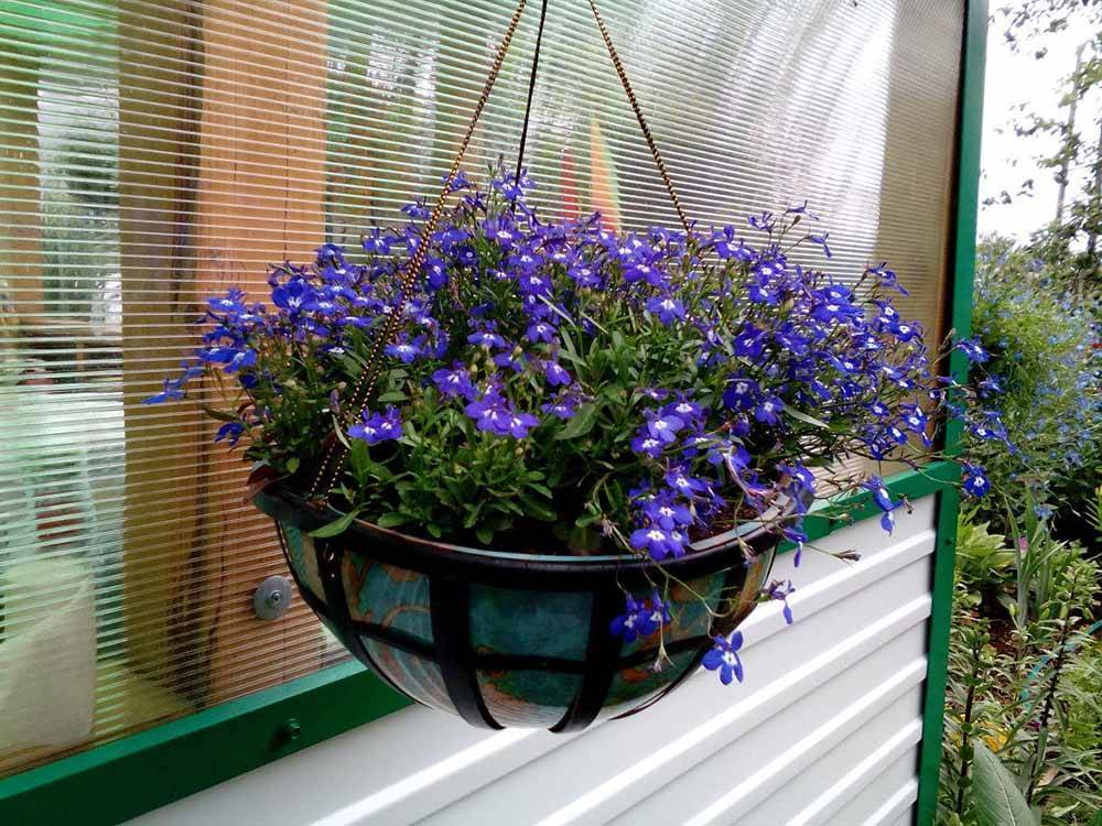 Петуния: посадка и уход на фото для начинающих, как правильно формировать в домашних условиях многолетний цветок, если он растет в горшке на балконе или в саду?