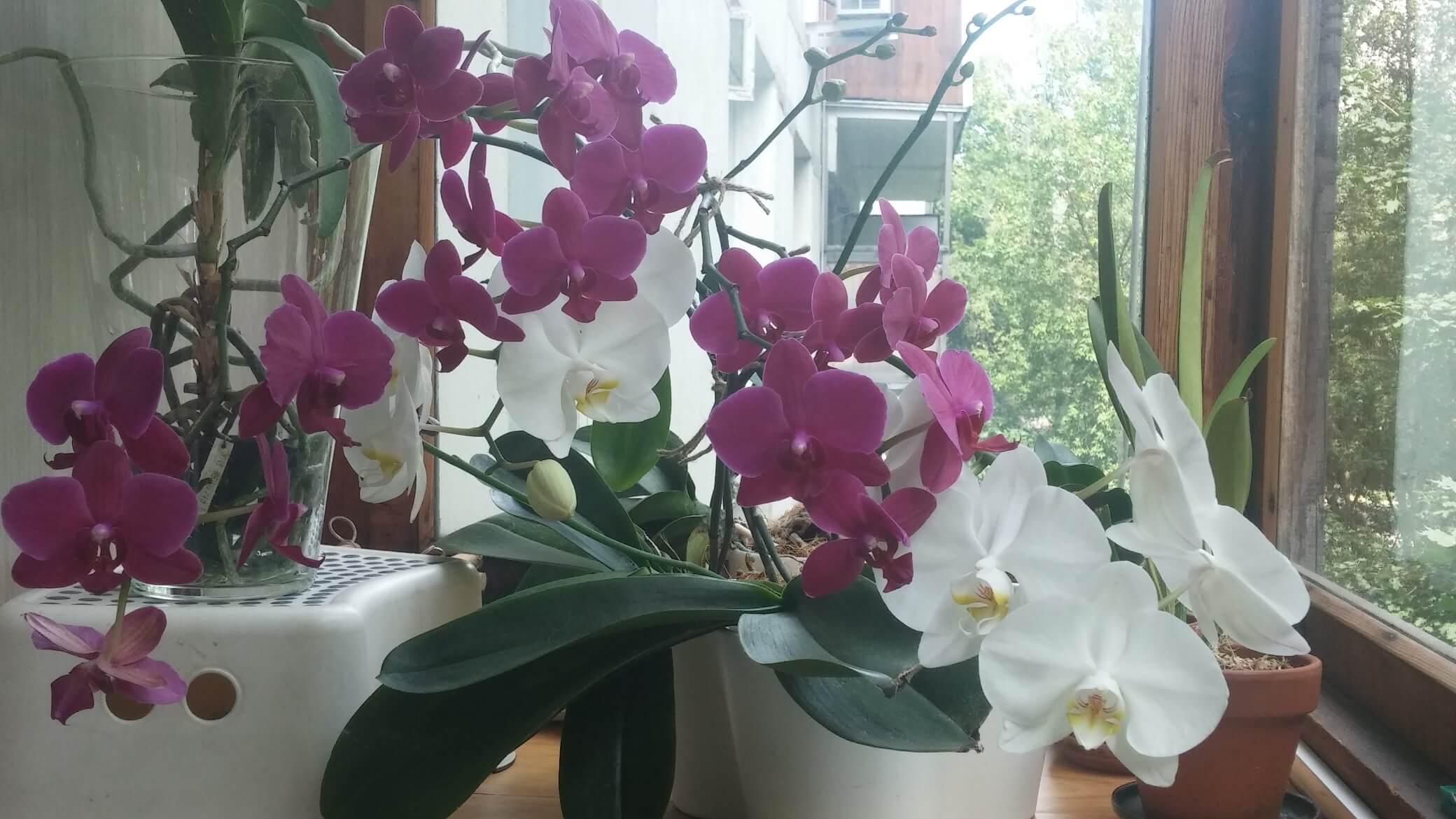 Главный вопрос: какая орхидея самая неприхотливая для квартиры, дома?