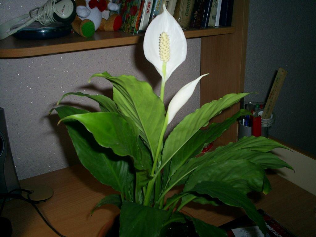 Почему чернеют листья у спатифиллума? почему цветок «женское счастье» желтеет и чернеют кончики листочков? что делать и как его спасти? причины и лечение болезней