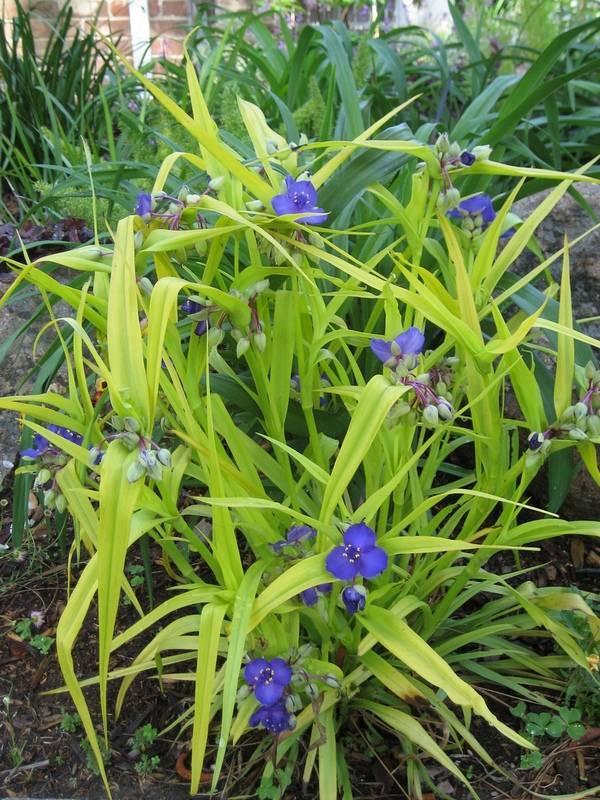 Традесканция садовая. посадка и уход. красивые садовые цветы