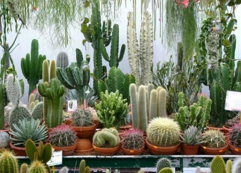 30 видов и названий домашних кактусов :: инфониак