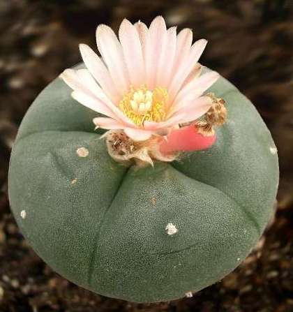 Выращивание кактуса селеницереуса крупноцветкового: как посадить, укоренять