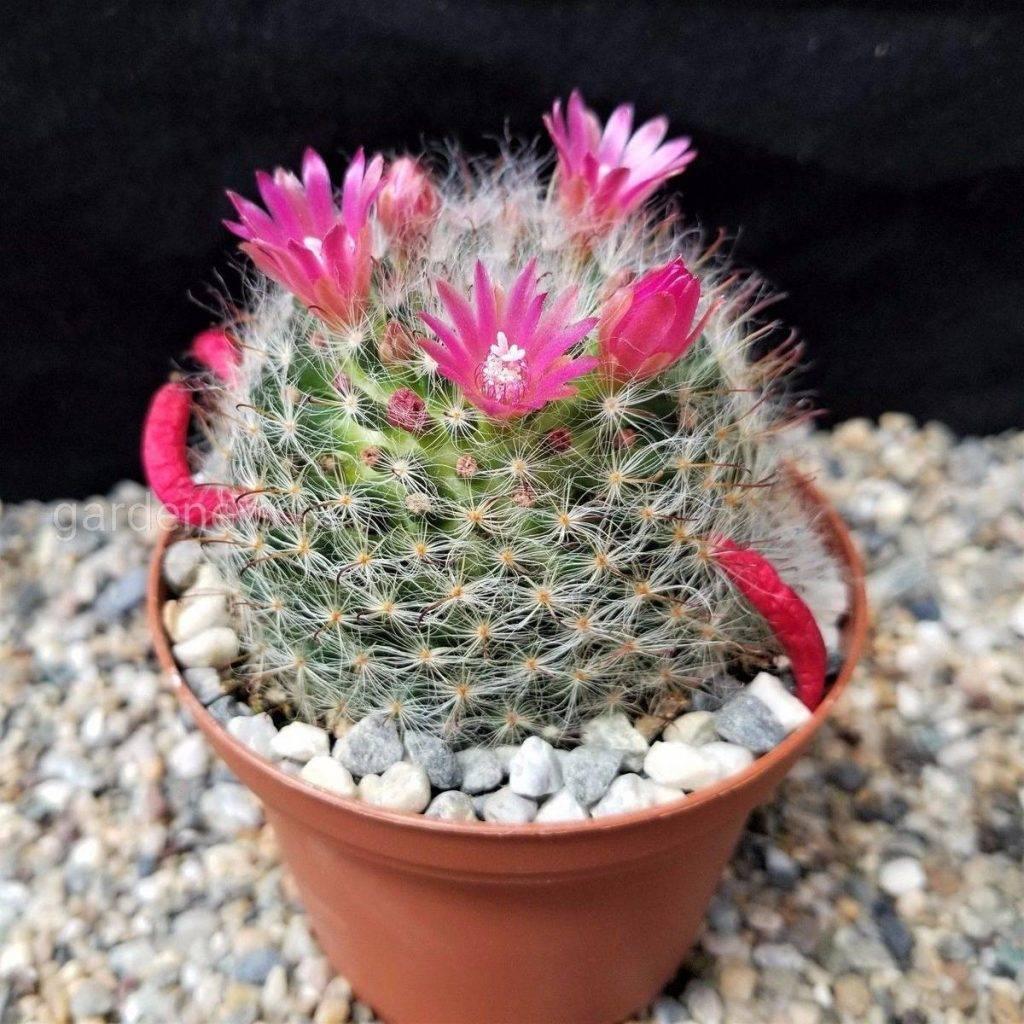 """""""гимнокалициум"""": виды кактуса, уход в домашних условиях, фото, размножение"""