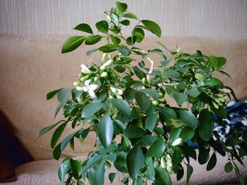 Цветок муррайя, уход в домашних условиях, описание и размножение