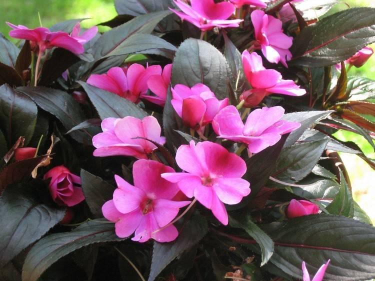 Посадка бальзамина садового в открытом грунте и уход за ним, как вырастить