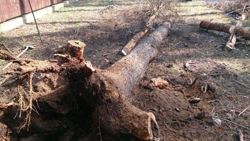 Как продлить жизнь старого дерева – все об омолаживающей обрезке и перепрививке
