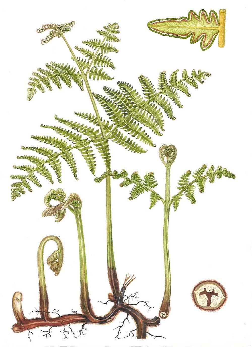 Папоротникообразные растения: характеристика группы, биологическое значение