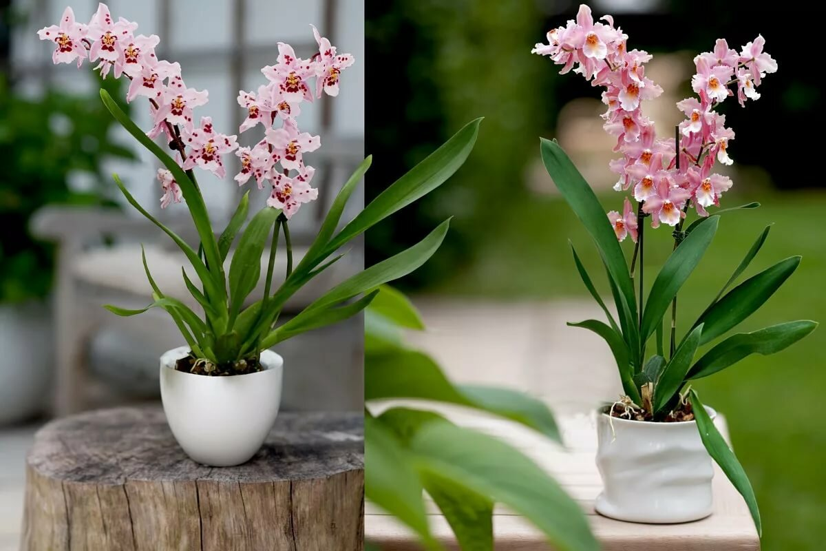 Красивая орхидея цимбидиум: фото и описание сорта